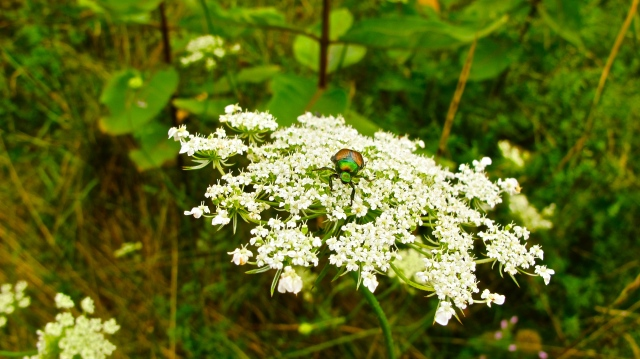 Japanese Beetle- Popillia japonica