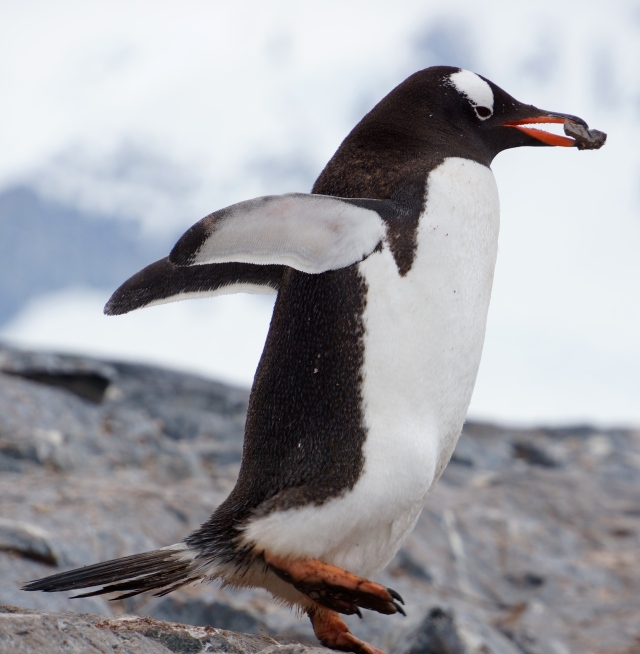 Gentoo penguin with a rock.  Don't interrupt; he is VERY BUSY.